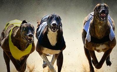 Haz tus apuestas en las carreras de galgos con Sportium y gana gracias a nuestros consejos
